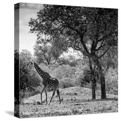 Awesome South Africa Collection Square - Wild Giraffe B&W-Philippe Hugonnard-Stretched Canvas Print