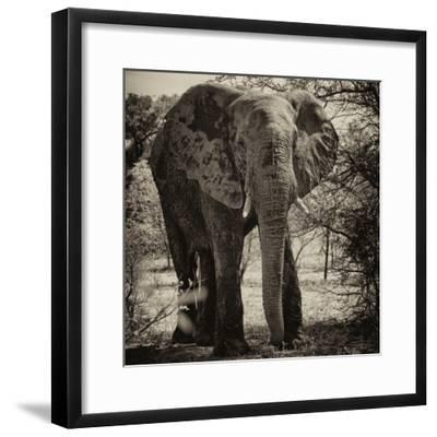 Awesome South Africa Collection Square - Elephant Portrait II-Philippe Hugonnard-Framed Photographic Print