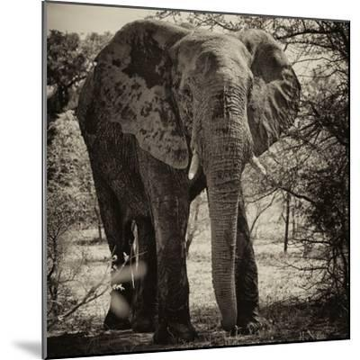 Awesome South Africa Collection Square - Elephant Portrait II-Philippe Hugonnard-Mounted Photographic Print