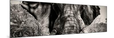 Awesome South Africa Collection Panoramic - Close-Up of Elephant II-Philippe Hugonnard-Mounted Photographic Print