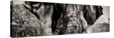 Awesome South Africa Collection Panoramic - Close-Up of Elephant II-Philippe Hugonnard-Stretched Canvas Print