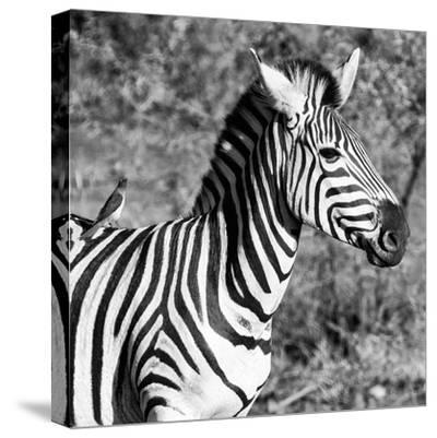 Awesome South Africa Collection Square - Close-Up of Burchell's Zebra with Oxpecker B&W-Philippe Hugonnard-Stretched Canvas Print
