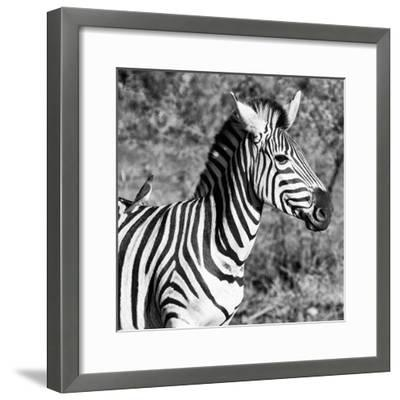 Awesome South Africa Collection Square - Close-Up of Burchell's Zebra with Oxpecker B&W-Philippe Hugonnard-Framed Photographic Print