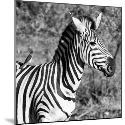 Awesome South Africa Collection Square - Close-Up of Burchell's Zebra with Oxpecker B&W-Philippe Hugonnard-Mounted Photographic Print