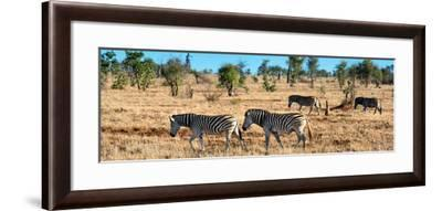 Awesome South Africa Collection Panoramic - Herd of Burchell's Zebras-Philippe Hugonnard-Framed Photographic Print