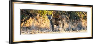 Awesome South Africa Collection Panoramic - Hyena at Sunrise-Philippe Hugonnard-Framed Photographic Print