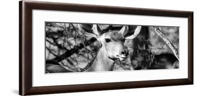 Awesome South Africa Collection Panoramic - Young Impala B&W-Philippe Hugonnard-Framed Photographic Print