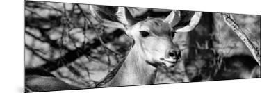 Awesome South Africa Collection Panoramic - Young Impala B&W-Philippe Hugonnard-Mounted Photographic Print
