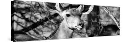 Awesome South Africa Collection Panoramic - Young Impala B&W-Philippe Hugonnard-Stretched Canvas Print