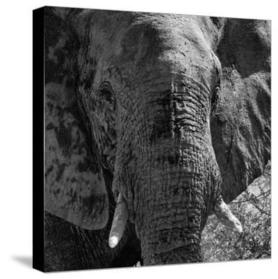Awesome South Africa Collection Square - Close-Up of African Elephant B&W-Philippe Hugonnard-Stretched Canvas Print