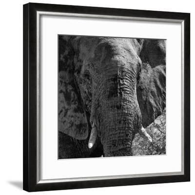 Awesome South Africa Collection Square - Close-Up of African Elephant B&W-Philippe Hugonnard-Framed Photographic Print
