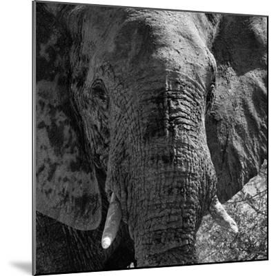 Awesome South Africa Collection Square - Close-Up of African Elephant B&W-Philippe Hugonnard-Mounted Photographic Print