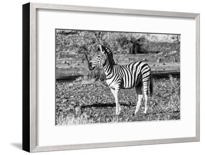 Awesome South Africa Collection B&W - Burchell's Zebra Portrait-Philippe Hugonnard-Framed Photographic Print