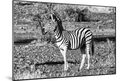 Awesome South Africa Collection B&W - Burchell's Zebra Portrait-Philippe Hugonnard-Mounted Photographic Print