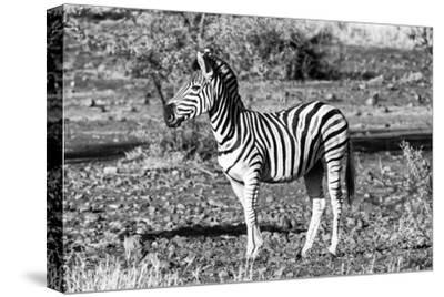 Awesome South Africa Collection B&W - Burchell's Zebra Portrait-Philippe Hugonnard-Stretched Canvas Print