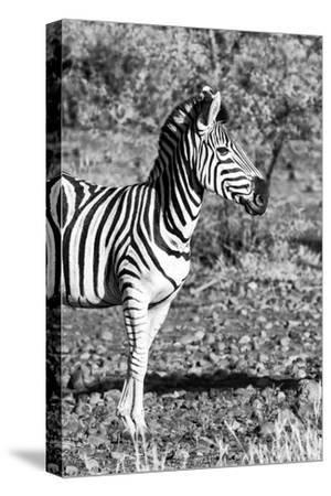 Awesome South Africa Collection B&W - Burchell's Zebra Portrait I-Philippe Hugonnard-Stretched Canvas Print