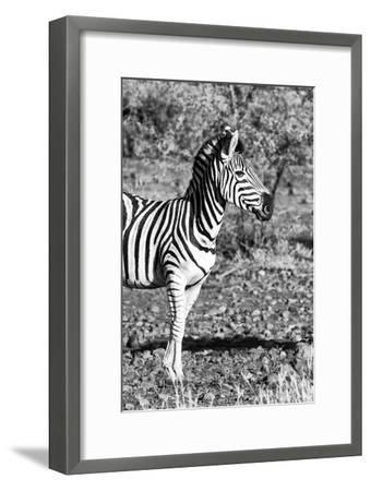Awesome South Africa Collection B&W - Burchell's Zebra Portrait I-Philippe Hugonnard-Framed Photographic Print
