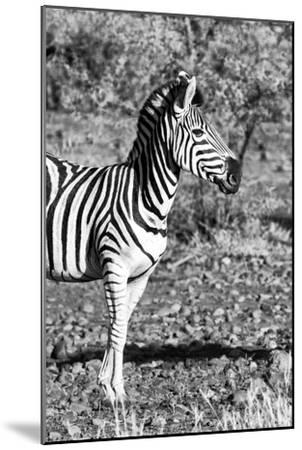 Awesome South Africa Collection B&W - Burchell's Zebra Portrait I-Philippe Hugonnard-Mounted Photographic Print