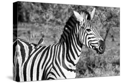 Awesome South Africa Collection B&W - Burchell's Zebra with Oxpecker III-Philippe Hugonnard-Stretched Canvas Print