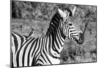 Awesome South Africa Collection B&W - Burchell's Zebra with Oxpecker III-Philippe Hugonnard-Mounted Photographic Print
