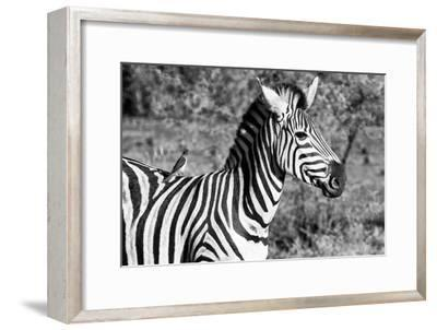 Awesome South Africa Collection B&W - Burchell's Zebra with Oxpecker III-Philippe Hugonnard-Framed Photographic Print