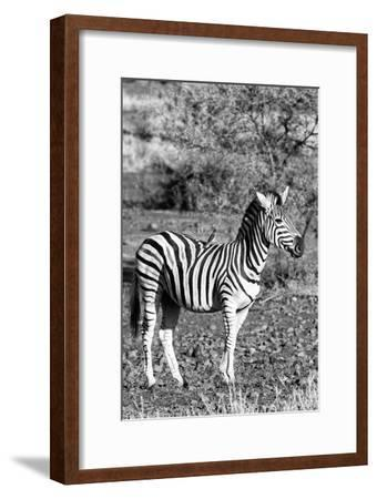 Awesome South Africa Collection B&W - Burchell's Zebra with Oxpecker IV-Philippe Hugonnard-Framed Photographic Print