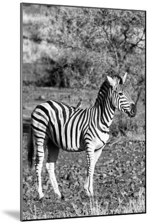 Awesome South Africa Collection B&W - Burchell's Zebra with Oxpecker IV-Philippe Hugonnard-Mounted Photographic Print