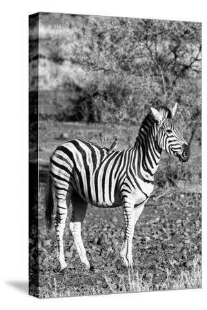 Awesome South Africa Collection B&W - Burchell's Zebra with Oxpecker IV-Philippe Hugonnard-Stretched Canvas Print