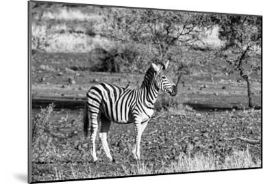 Awesome South Africa Collection B&W - Burchell's Zebra with Oxpecker-Philippe Hugonnard-Mounted Photographic Print