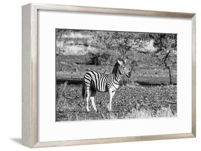 Awesome South Africa Collection B&W - Burchell's Zebra with Oxpecker-Philippe Hugonnard-Framed Photographic Print