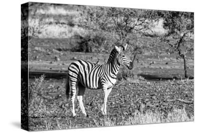 Awesome South Africa Collection B&W - Burchell's Zebra with Oxpecker-Philippe Hugonnard-Stretched Canvas Print