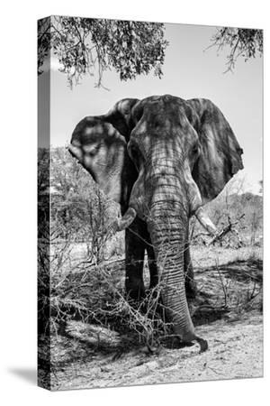 Awesome South Africa Collection B&W - Elephant Portrait V-Philippe Hugonnard-Stretched Canvas Print