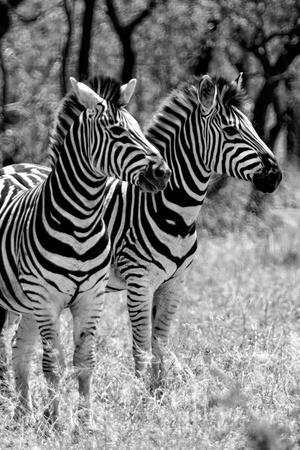 Awesome South Africa Collection B&W - Two Burchell's Zebras II-Philippe Hugonnard-Framed Photographic Print