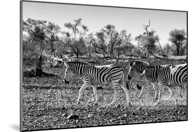 Awesome South Africa Collection B&W - Trio of Common Zebras III-Philippe Hugonnard-Mounted Photographic Print
