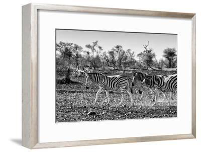 Awesome South Africa Collection B&W - Trio of Common Zebras III-Philippe Hugonnard-Framed Photographic Print