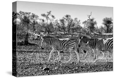 Awesome South Africa Collection B&W - Trio of Common Zebras III-Philippe Hugonnard-Stretched Canvas Print