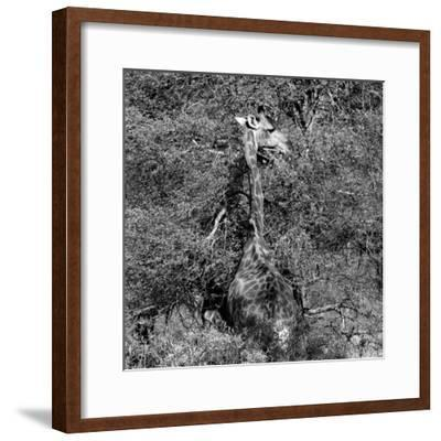Awesome South Africa Collection Square - Giraffe B&W-Philippe Hugonnard-Framed Photographic Print