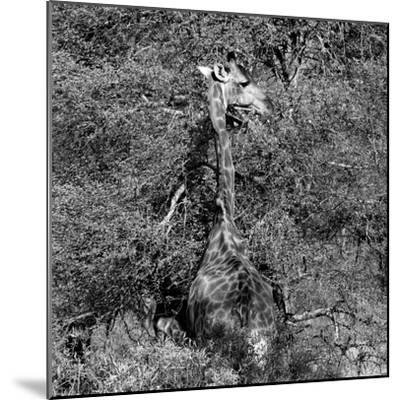 Awesome South Africa Collection Square - Giraffe B&W-Philippe Hugonnard-Mounted Photographic Print