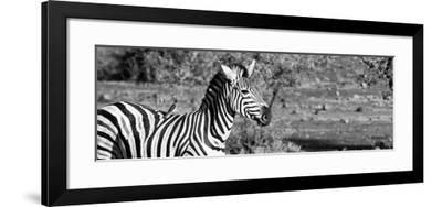 Awesome South Africa Collection Panoramic - Redbilled Oxpecker on Burchell's Zebra II B&W-Philippe Hugonnard-Framed Photographic Print