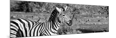 Awesome South Africa Collection Panoramic - Redbilled Oxpecker on Burchell's Zebra II B&W-Philippe Hugonnard-Mounted Photographic Print