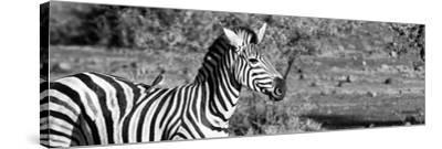 Awesome South Africa Collection Panoramic - Redbilled Oxpecker on Burchell's Zebra II B&W-Philippe Hugonnard-Stretched Canvas Print