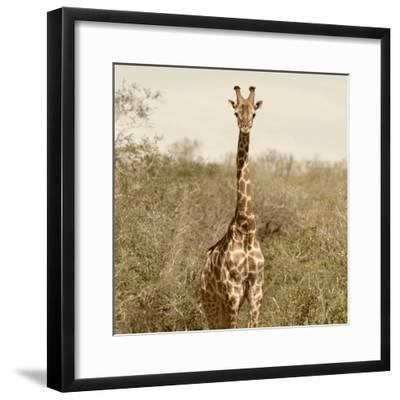 Awesome South Africa Collection Square - Giraffe Portrait-Philippe Hugonnard-Framed Photographic Print