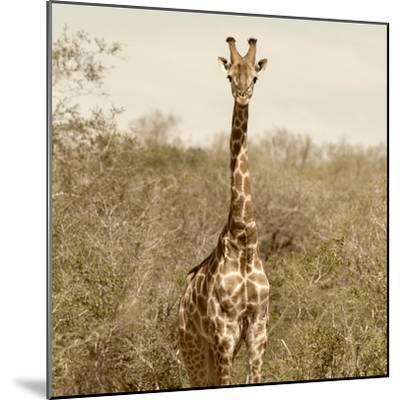 Awesome South Africa Collection Square - Giraffe Portrait-Philippe Hugonnard-Mounted Photographic Print