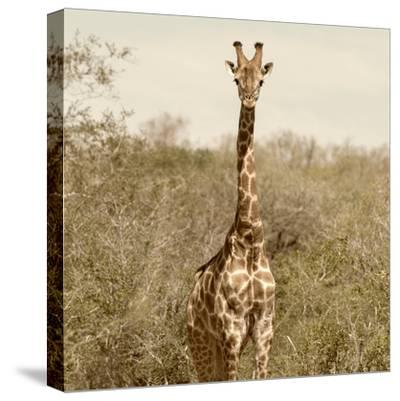 Awesome South Africa Collection Square - Giraffe Portrait-Philippe Hugonnard-Stretched Canvas Print