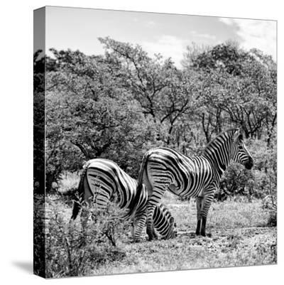 Awesome South Africa Collection Square - Two Burchell's Zebras II B&W-Philippe Hugonnard-Stretched Canvas Print