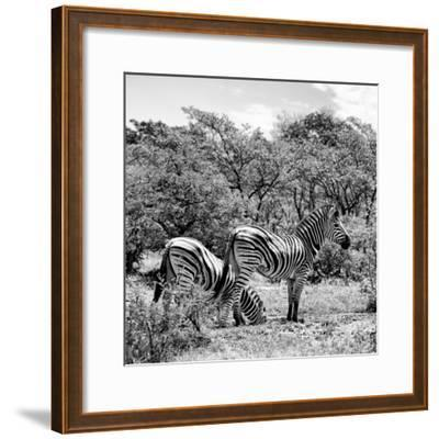 Awesome South Africa Collection Square - Two Burchell's Zebras II B&W-Philippe Hugonnard-Framed Photographic Print