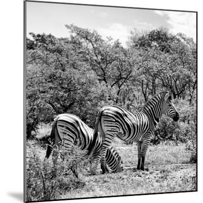 Awesome South Africa Collection Square - Two Burchell's Zebras II B&W-Philippe Hugonnard-Mounted Photographic Print