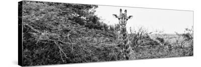 Awesome South Africa Collection Panoramic - Curious Giraffe B&W-Philippe Hugonnard-Stretched Canvas Print