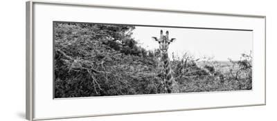 Awesome South Africa Collection Panoramic - Curious Giraffe B&W-Philippe Hugonnard-Framed Photographic Print