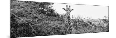 Awesome South Africa Collection Panoramic - Curious Giraffe B&W-Philippe Hugonnard-Mounted Photographic Print